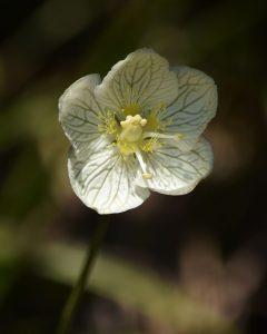 Marsh Grass-of-Parnassus