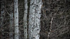 American Bear Claw Marks