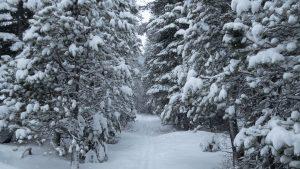 Snow-flocked trees